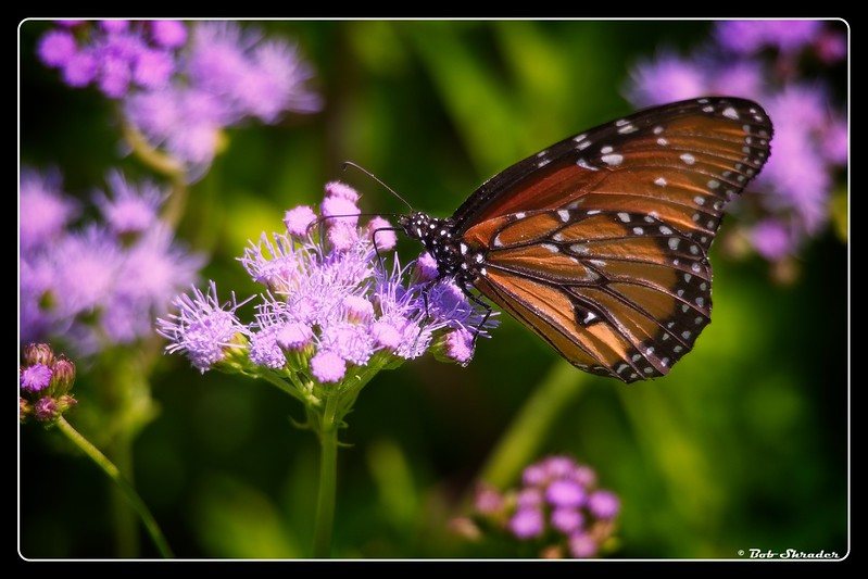 Butterfly on Gregg's Mistflower