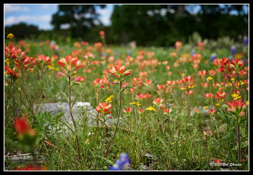 Field of Texas Wildflowers