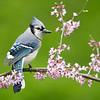 Bluejay in redbud blossoms