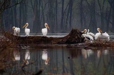 White pelicans along lower Illinois River