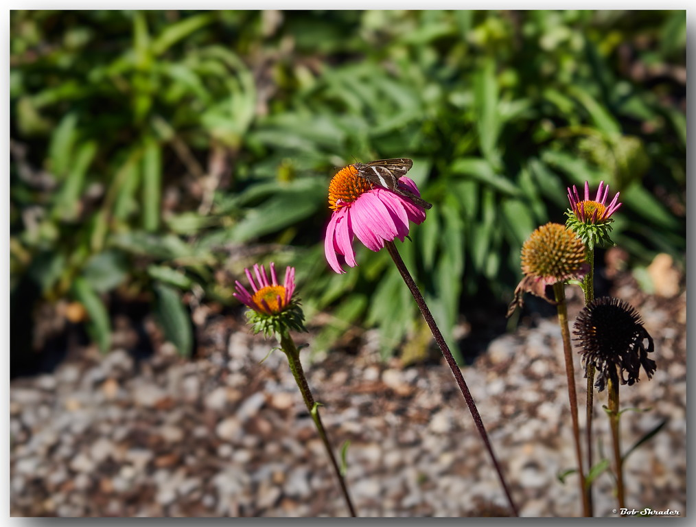 Among the Coneflowers