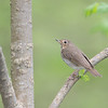 Swainson's Thrush, Crawfordsville, IN