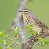 Palm Warbler, Magee Marsh, IN