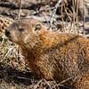 Groundhog - Marmotte