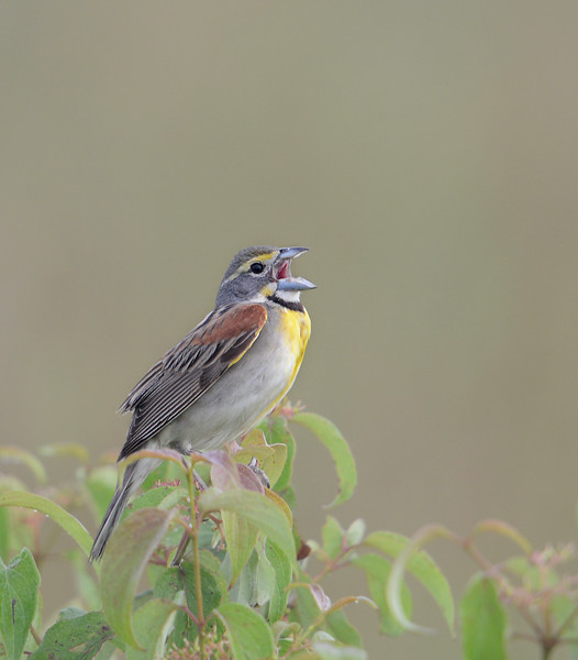 Dickcissel, Grissom Airfield, Indiana