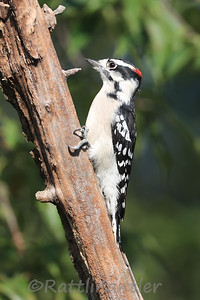 Downy Woodpecker ♂