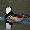 Hooded Merganser, Indiana