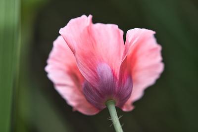 Pink Poppy 5862