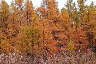 American Larch in Fall