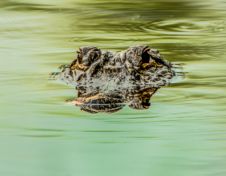 Alligator Coming For You