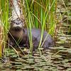 River Otter - Loutre de rivière