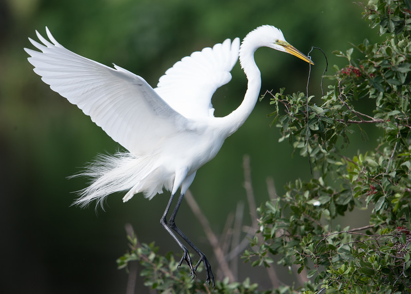 Great Egret building nest, Venice, FL