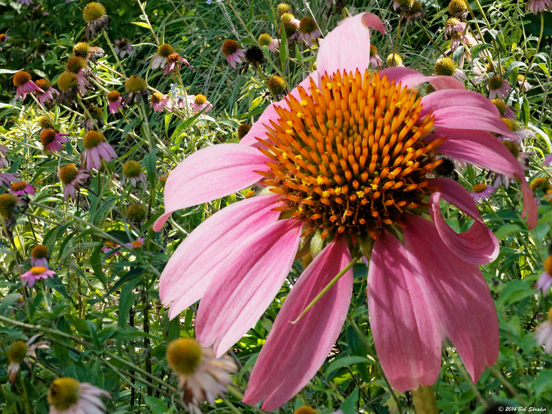 Coneflower Composite