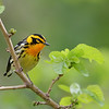 Blackburnian Warbler, Magee Marsh, Ohio