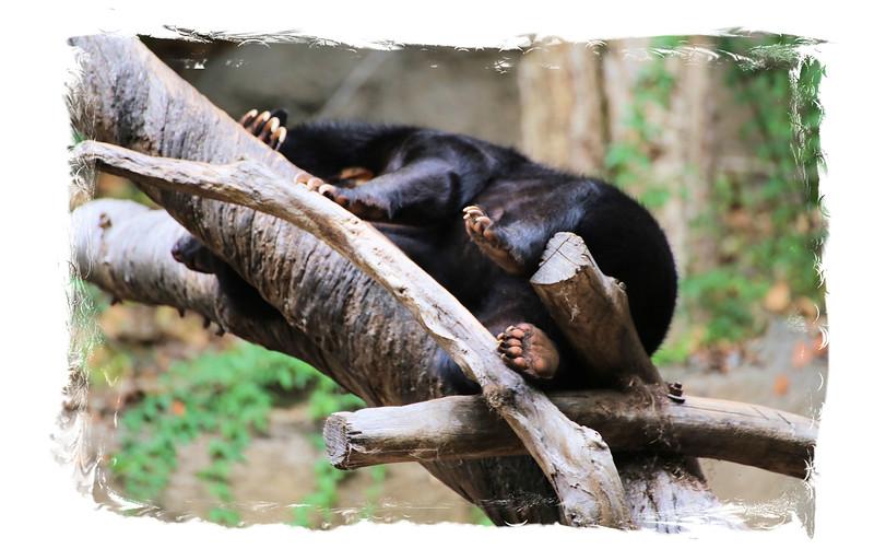 Bear in the trees.jpg