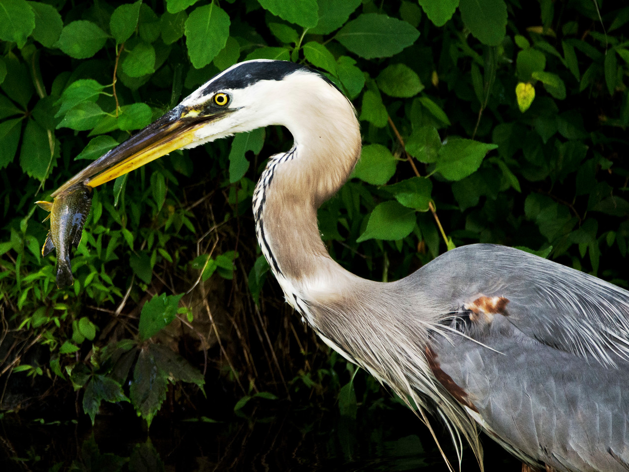 Dinner for the Great Blue Heron