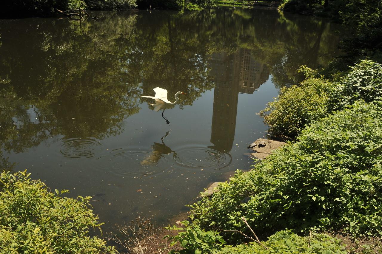 CENTRAL PARK IN SPRING - Manhattan NYC / Birds of Central Park - Great Egret
