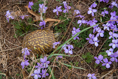 Ornate Box Turtle and Bird's foot violet