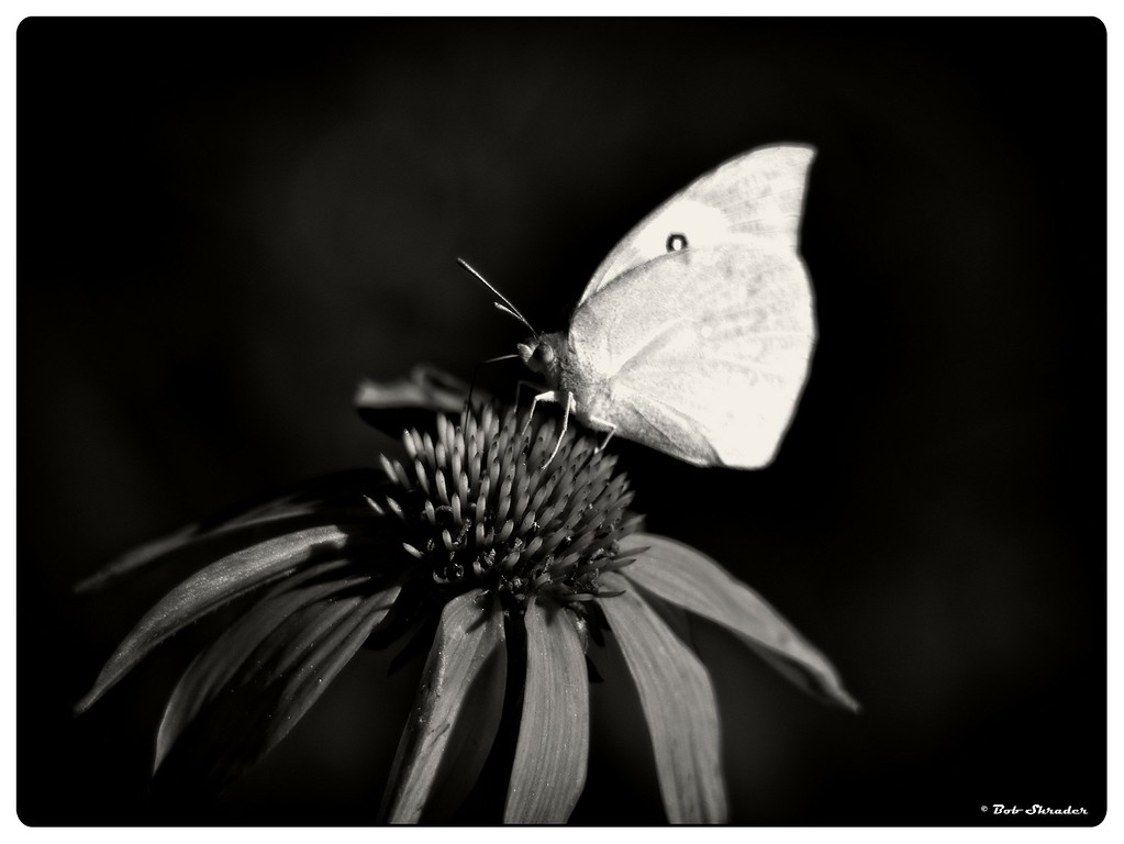Butterfly on Coneflower in B&W