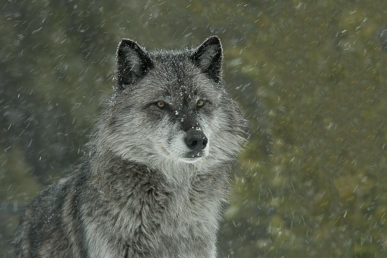 Alpha Female Gray Wolf, MT