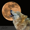 Gray Wolf Howling at the Moon