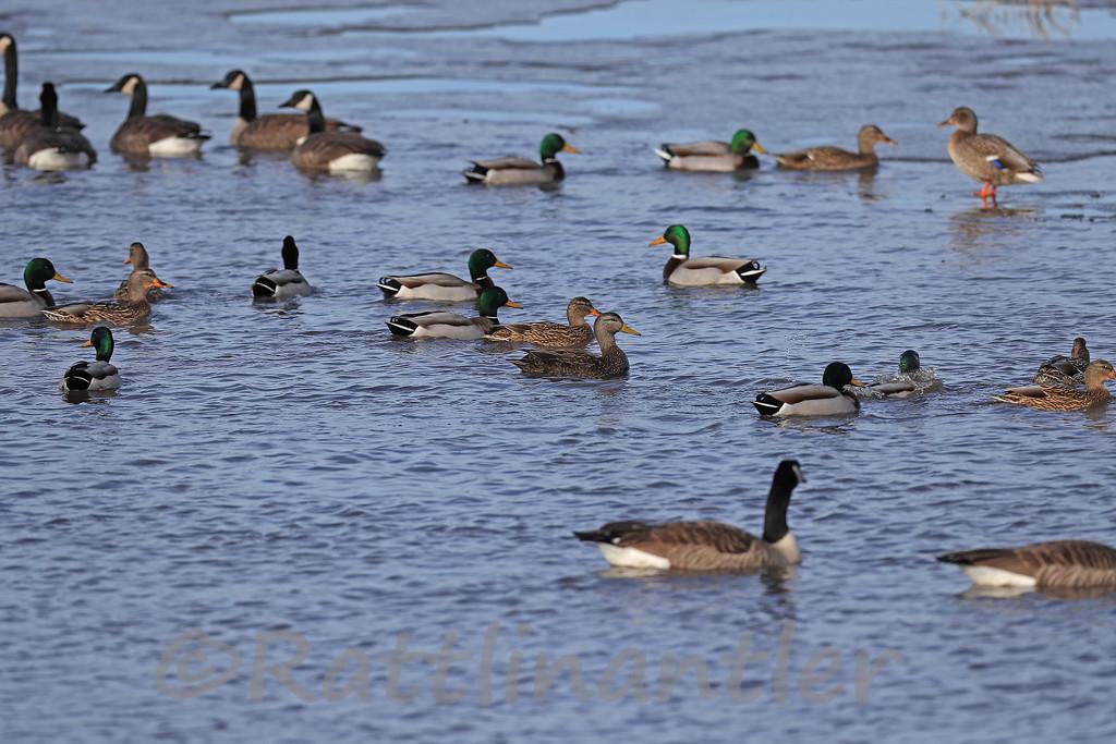 American Black Duck among Mallards