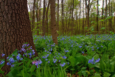Virginia bluebells in floodplain forest