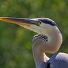 Marjie Goldberg - Portrait of a Great Blue Heron