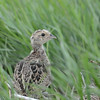 Ring-necked Pheasant, juvenile, South Dakota