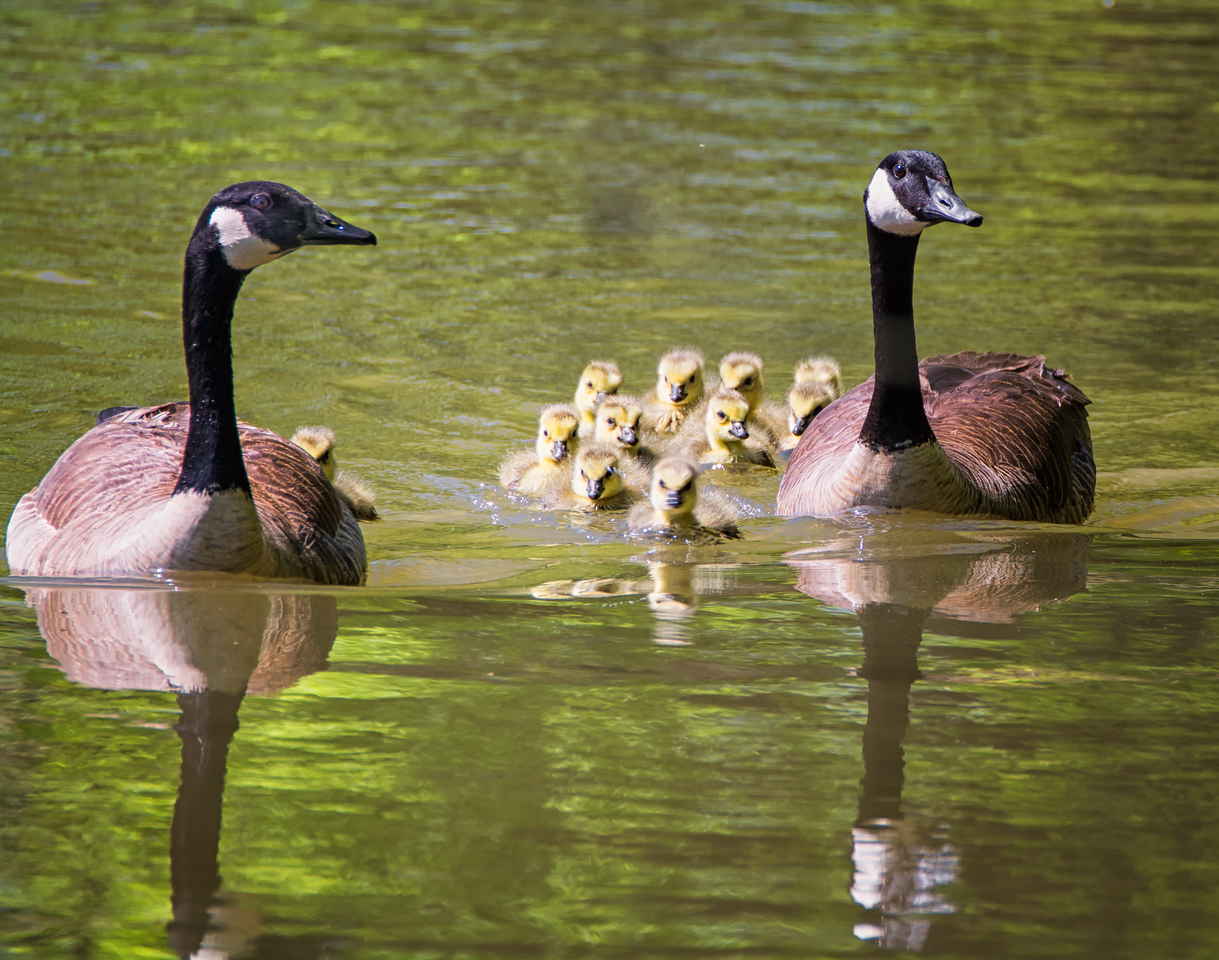Canada Geese with Gooslings