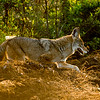 Creek Coyote