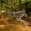 Creek Coyote