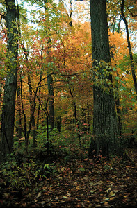 Old growth forest at Beall Woods State Park