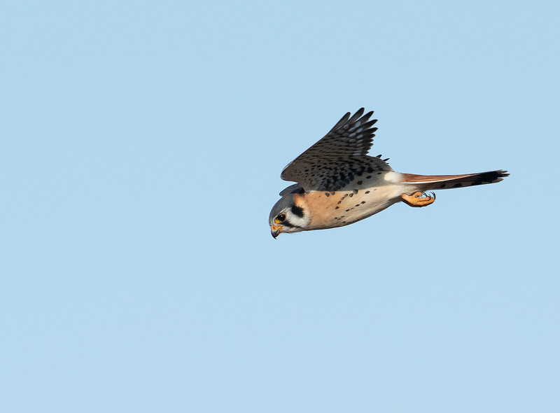 American Kestrel in Flight, Goose Pond FWA, IN