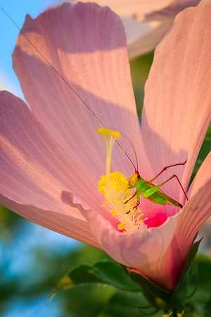 hibiscus katydid2