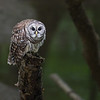 Barred Owl, Montgomery County, IN