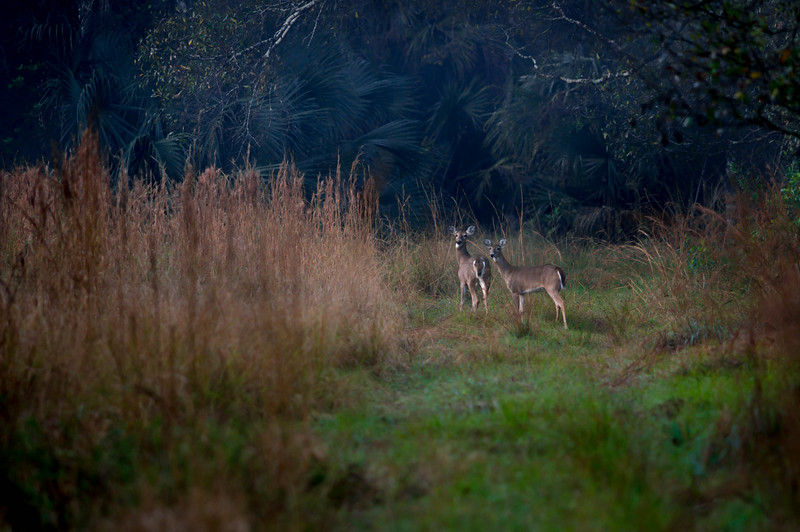 Florida Whitetail Deer