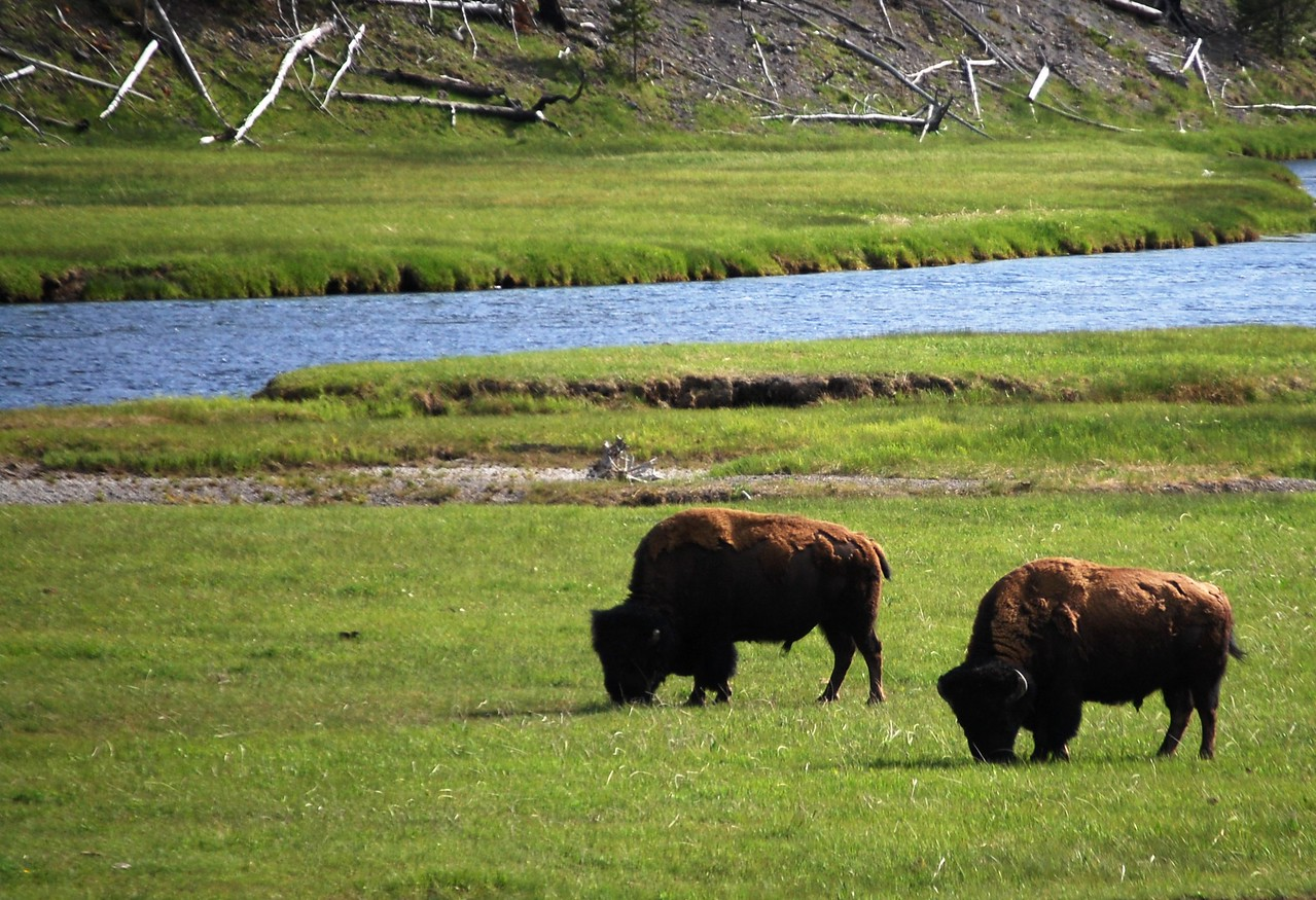 Buffalo grazing in Yellowstone National Park
