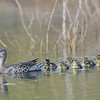 Blue-winged Teal hen with brood, South Dakota