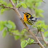 Blackburnian Warbler, Crane Creek, Ohio