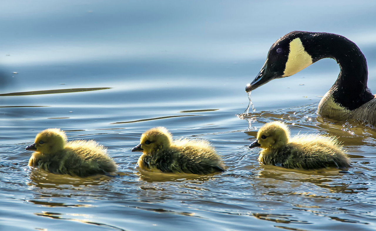 Canada Goose with Goslings