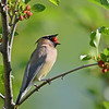 Cedar Waxwing with mulberry, Warsaw, IN
