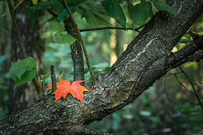 First colour of fall / Première couleur d'automne