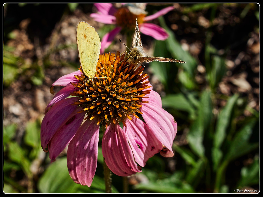 Two Butterflies on Coneflower