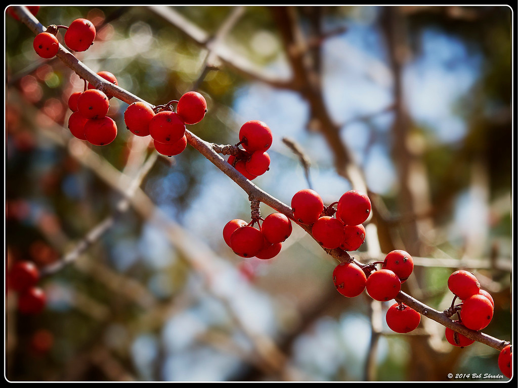 Possumhaw Holly Berries