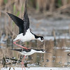 Black-necked Stilt pair, Goose Pond FWA, Indiana