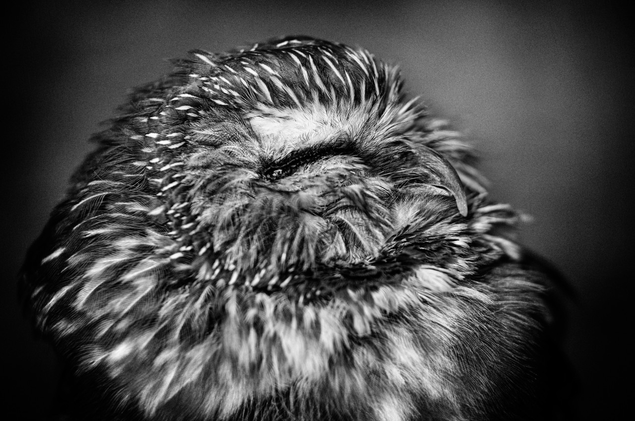 Snoozing Saw Whet Owl