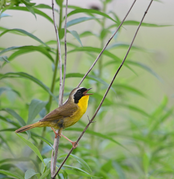 Common Yellowthroat, Indiana