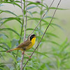 Male Common Yellowthroat, Kosciusko County, Indiana