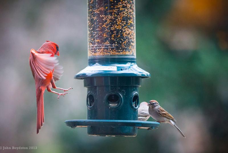 Landing Cardinal on feeder